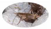 Buy live crickets from Healthy Crickets